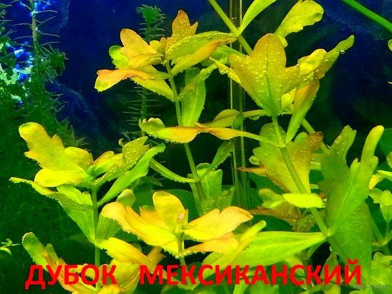 Дубок мексиканский и др. растения. НАБОРЫ растений для запуска акваса. ПОЧТОЙ и МАРШРУТКОЙ отправлю.