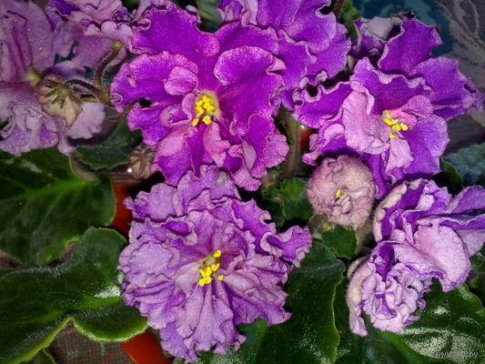 Фиалка темно-розовая с сиреневым оттенком, махровая, края лепестков волнистые, цветы крупные, на высоких цветоносах, цветение обильное и продолжительное - свежесрезанный листок