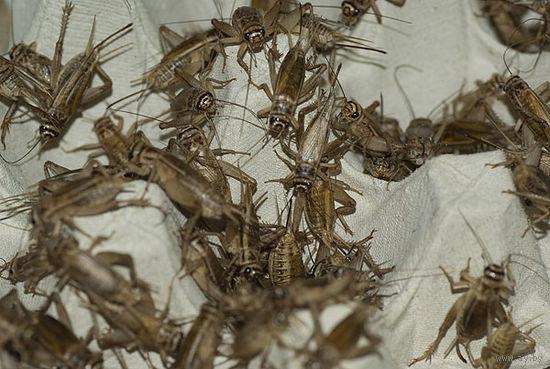 Сверчки двупятнистый Gryllus bimaculatus и домовый Acheta domesticus
