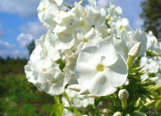 Флокс белый крупноцветковый